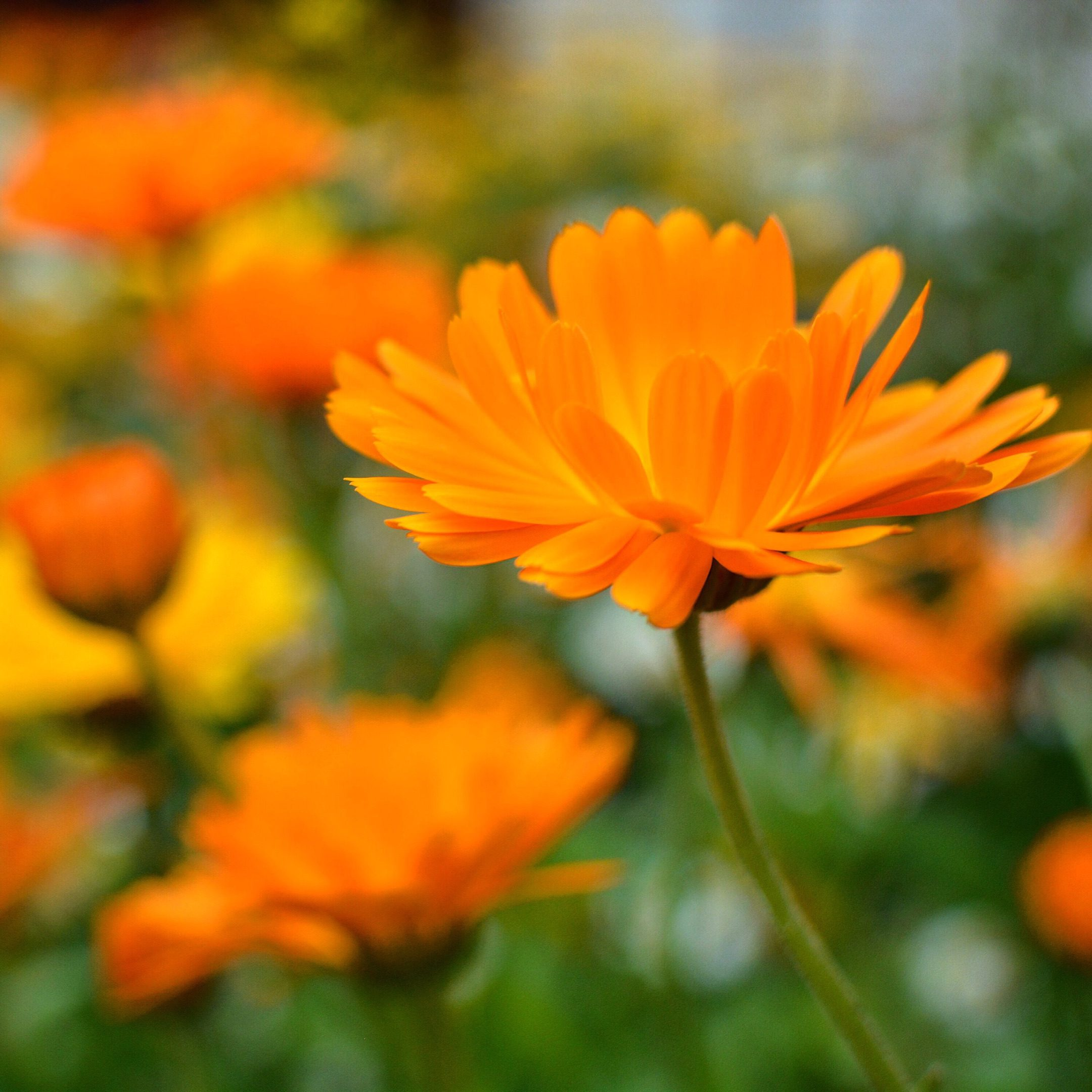 Herbal Spotlight: Calendula officinalis